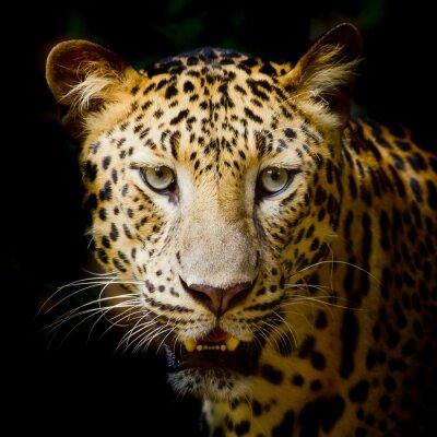 Poster Ritratto di Leopard