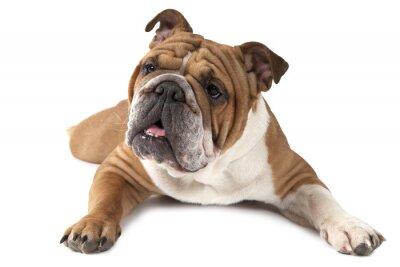 Poster Ritratto di razza Bulldog inglese su sfondo bianco