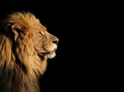 Poster Ritratto di un grande uomo africano leone su nero