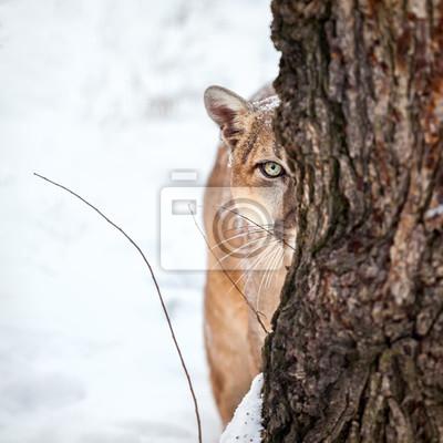 Poster Ritratto di un puma, leone di montagna, puma, puma dietro un albero.