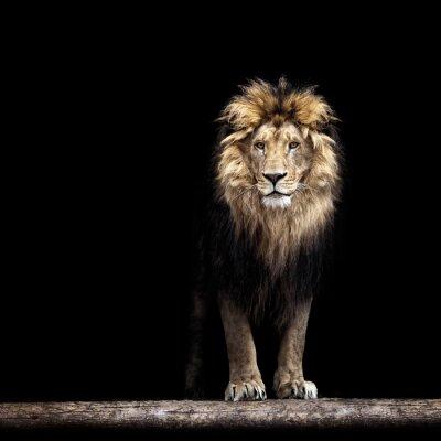 Poster Ritratto di una bella leone, leone nel buio