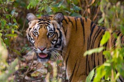 Poster Ritratto di una tigre in natura. India. Bandhavgarh National Park. Madhya Pradesh. Un ottimo esempio.