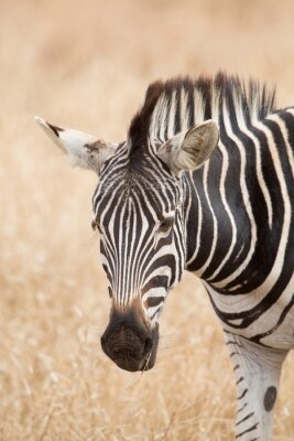 Poster ritratto Zebra, parco Kruger, Sudafrica