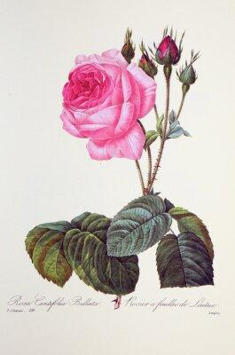 Poster Rosa centifolia bollata / Rose à feuilles de laitue