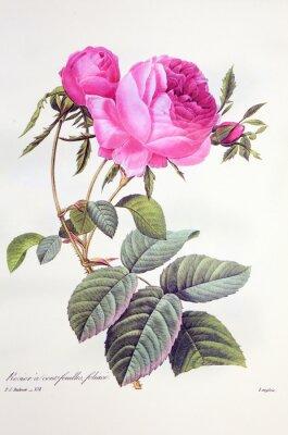 Poster Rosa centifolia / Rose Centfeuilles foliacé