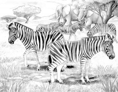 Poster Safari - zebre - da colorare