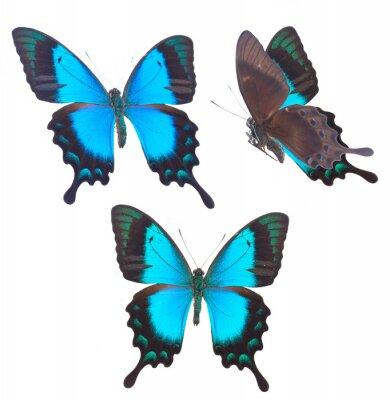 Poster Sea Green Papilionidae