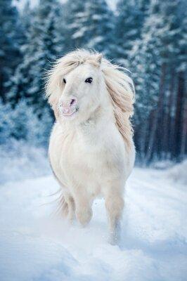 Poster shetland pony bianchi correre nella neve in inverno