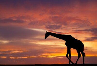 Poster Silhouette di una giraffa contro un bel tramonto