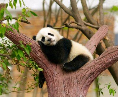 Poster Sleeping giant panda