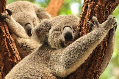 Poster Sleeping koala