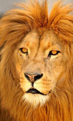Poster solo lion