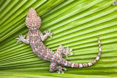Poster Spotted Gecko su una foglia di palma verde.