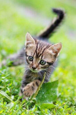 Poster strisce marroni simpatico gattino camminare sull'erba
