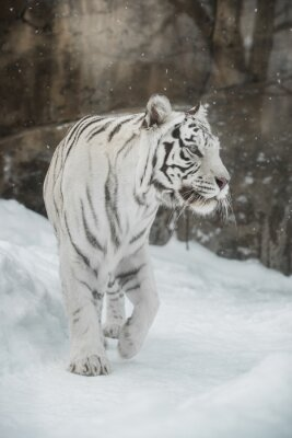 Poster Tigre Bianca