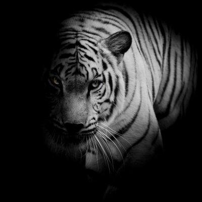 Poster Tigre bianca isolato su sfondo nero