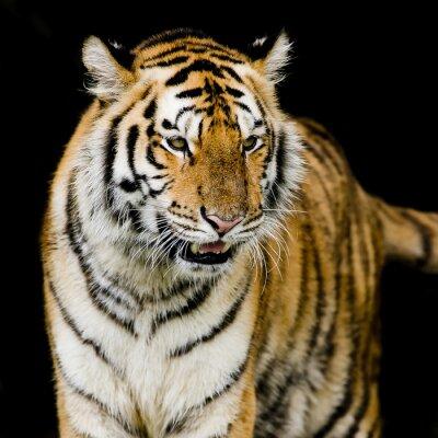 Poster Tigre del Bengala