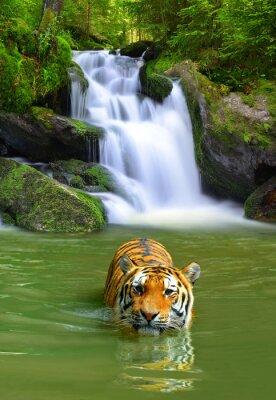 Poster Tigre siberiana in acqua