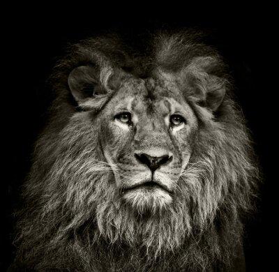 Poster triste leone
