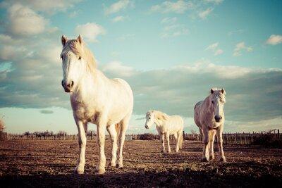 Poster trois chevaux blancs Camarguais epoca