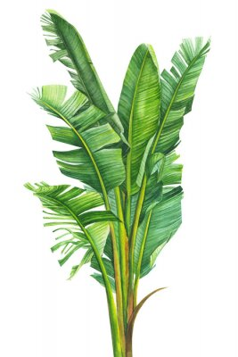 Poster tropical plants, banana palm on an isolated white background, watercolor illustration, hand drawing, botanical painting