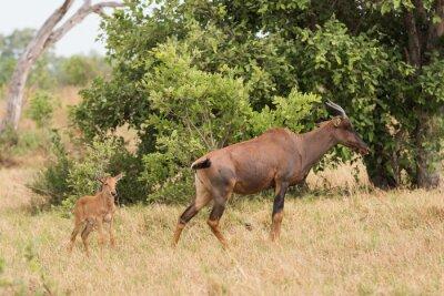 Poster Tsessebe mamma e vitello
