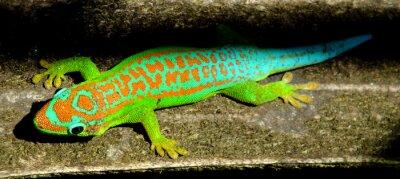 Poster Turchese colorato gecko verde