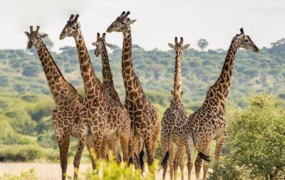 Poster Un gruppo di sei giraffe in Tarangire National Park, Tanzania