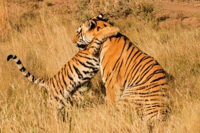 Poster Un momento affettuoso tra una tigre del Bengala e il suo cucciolo