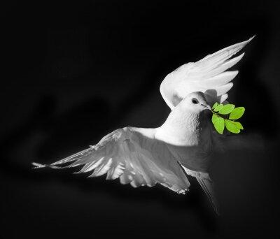 Poster un piccione bianco
