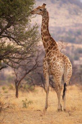 Poster Una grande giraffa mangiare foglie da un albero
