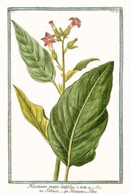Poster Vecchia illustrazione botanica di Nicotiana major (Nicotiana tabacum). Da G. Bonelli su Hortus Romanus, ed. N. Martelli, Roma, 1772 - 93