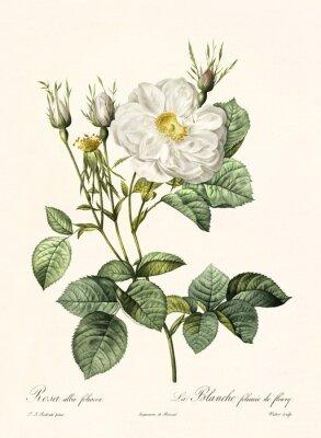 Poster Vecchia illustrazione di Rosa alba foliacea. Creato da PR Redoute, pubblicato su Les Roses, Imp. Firmin Didot, Parigi, 1817-24