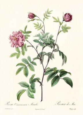 Poster Vecchia illustrazione di Rosa cimmamomea majalis. Creato da PR Redoute, pubblicato su Les Roses, Imp. Firmin Didot, Parigi, 1817-24