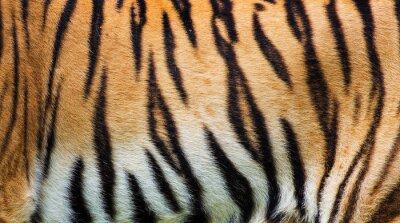 Poster vicino pelle di tigre trama