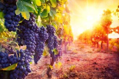 Poster vigneto con uva matura nella campagna al tramonto