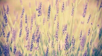 Poster Vintage toned lavender flower, shallow depth of field.