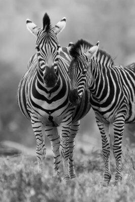 Poster Zebra cavalla e puledro in piedi vicino insieme a Bush per la sicurezza di un