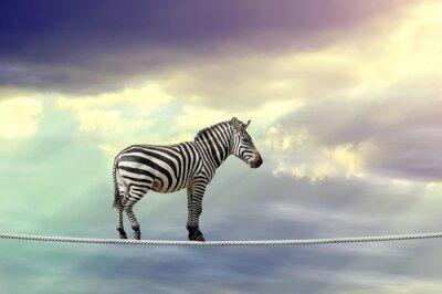 Poster Zebra che cammina su una corda