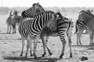 Poster Zebra herd in black and white photo with heads together
