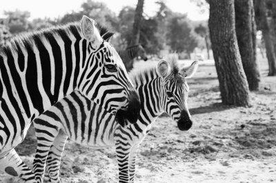 Poster Zebra in Safari a Tel-Aviv