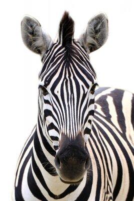 Poster Zebra isolato su bianco