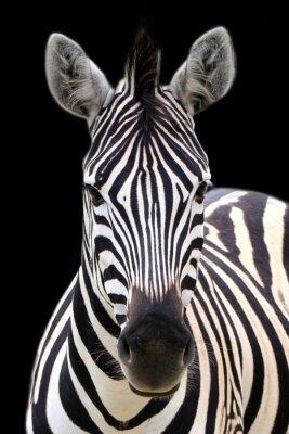 Poster Zebra isolato su fondo nero