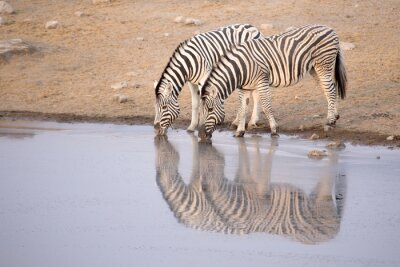 Poster zebra potabile da una pozza d'acqua