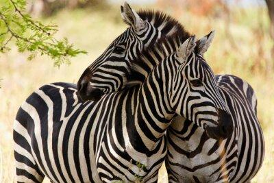 Poster Zebre