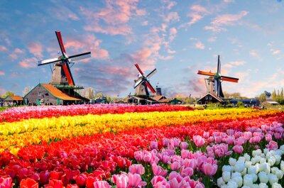 Quadro Abbellisca con i tulipani, i mulini a vento olandesi tradizionali e le case vicino al canale in Zaanse Schans, Paesi Bassi, Europa