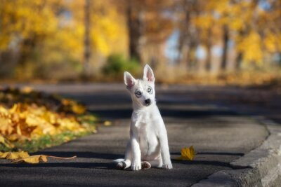 Quadro adorabile cucciolo siberian husky seduta all'aperto in autunno