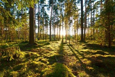 Quadro Alba nella foresta di pini