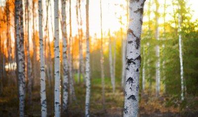 Quadro Albero di betulla al tramonto