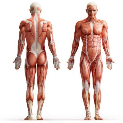 Quadro anatomia, muscoli